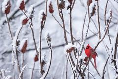 Spring Surprise (Bryan N) Tags: trees sky snow tree bird clouds cardinal sumac