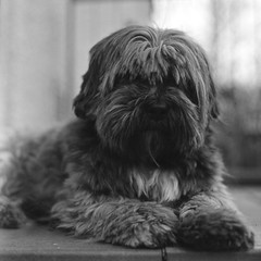 Hubble! (Nicolas -) Tags: door camera bw hairy dog chien vintage nb collection bronica porte ilford fp4 s2 hubble poilu 125iso lc29 zenza rapidfixer lhassaapso
