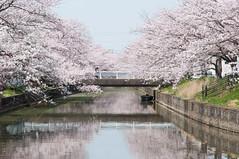 (Wunkai) Tags: bridge japan  cherryblossom sakura    ibarakiken  tsuchiurashi