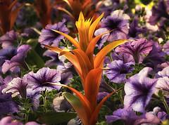 Orange Guzmania (zuni48) Tags: flowers orange purple botanicalgarden longwoodgardens guzmania zunikoff