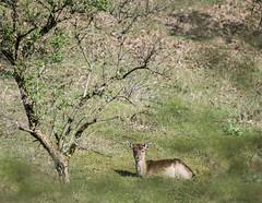 Resting... (crispin52) Tags: nature landscape nikon deer awd hert