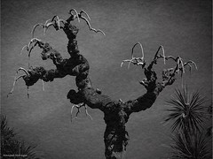 Las Garras de la Naturaleza (Manuel Moraga) Tags: madrid espaa naturaleza textura blancoynegro arbol manuelmoraga garrasdelanaturaleza