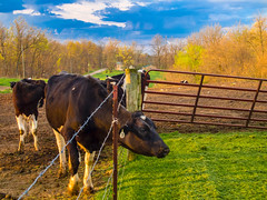Morning Bliss in Eden (David Cornwell) Tags: usa nature landscape outdoors spring farm farming indiana olympus environment crops agriculture dairyfarm noblecounty primelens mirrorless dairycattle davidcornwell olympusomdem5 olympusmzuiko25mmf18