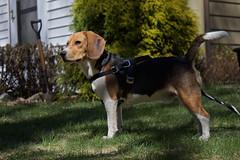 Buddy Beagle Boy (johnruscombe1965) Tags: dog beagle buddy buddyngton lordbuddyngton