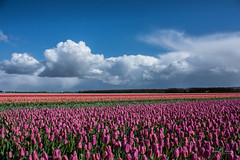 Colors of Holland (Monika Kalczuga (v.busy)) Tags: flower holland nature netherlands colors clouds landscape spring tulips outdoor flowerbed flowerfields denhelder tulpen tulp tulipfields tulipany typicaldutch dutchtulips colorfultulips