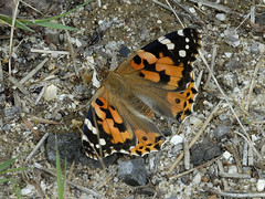 Vanessa cardui (Tim Worfolk) Tags: butterfly paintedlady vanessacardui nymphalidae affpuddleheath