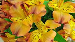 Amaryllis bouquet (ènfin (verna)) Tags: flowerwatcher flowerarebeautiful picmonkey