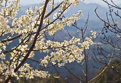 Frhling / Springtime (schreibtnix) Tags: italien italy tree travelling reisen branch blossom monastery blte baum kloster subiaco zweig olympuse5 schreibtnix