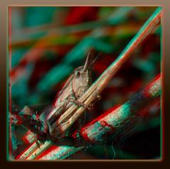 Grasshopper In Hiding 2 - Anaglyph 3D (DarkOnus) Tags: macro closeup insect lumix stereogram 3d pennsylvania anaglyph panasonic stereo grasshopper hiding stereography buckscounty dmcfz35 darkonus
