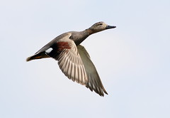 High On Crack (Ger Bosma) Tags: sky sun male flying duck spring flight fast gadwall anasstrepera krakeend schnatterente canardchipeau nadefriso canapiglia 2mg169942