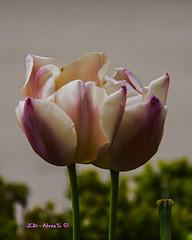 Tulipan Apricot Foxx. (Joaquin Atrasto  - @JCDAtrasto) Tags: flowers naturaleza flores macro primavera nature canon eos spring apricot tulipa foxx tulipan 2016 50d jcdatrasto