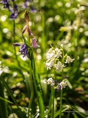 Bluebells at Clyne Gardens, Swansea 2016 04 20 #3 (Gareth Lovering Photography 2,000,000 views.) Tags: flowers gardens bluebells wales olympus lovering clyne clyneinbloom swanseainbloom