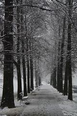 Corridoio invernale - Winter passageway. (sinetempore) Tags: street trees white snow alberi torino neve benches turin bianco panchine parcodelvalentino corridoioinvernale winterpassageway
