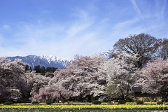 (miyomiyoko) Tags: pink blue trees sky snow flower tree nature japan clouds spring cherryblossom cherryblossoms montain yamanashi