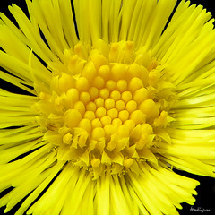 Sunny Coltsfoot -Tussilage farfara ensoleil (monteregina) Tags: plants canada flower macro nature yellow closeup jaune petals spring weeds flora heart centre details sunny center coeur seeds qubec wildflowers rays annual pollen blooms roadside plantae printemps perennial plantes flore onblack coltsfoot tussilagofarfara tussilago huflattich compositae ptales fleurssauvages asterfamily vivaces pieddecheval pasdne sunflowerfamily fillframe tussilage annuelles monteregina astraces composes bordduchemin dtailis