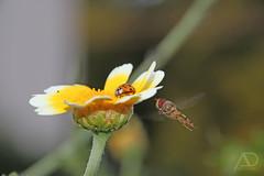 unerwarteter Besuch (unexpected visit) (A.Dold) Tags: pflanzen makro insekten marienkfer wespe