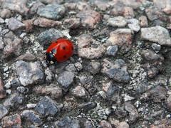 Ladybird (Lukinator) Tags: red white macro rot nature animal stone tiere klein rocks stones small natur beetle mini steine finepix points ladybird fujifilm middle simple makro stein weiss mitte minimalistic minimalist anim tier kfer marienkfer hs20 makros punkte simpel minimalistisch gesteine