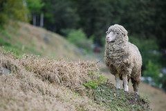 The king of sheep (jordan_0503) Tags: travel animal animals canon sheep taiwan       70200mm   f4l is