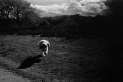 on the hare (Roesmeister) Tags: 50mm takumar trix 14 grand sp basset spotmatic griffon vendeen