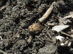 Bumble beetle (Erutuon) Tags: insect beetle scarabbeetle euphoriainda bumbleflowerbeetle