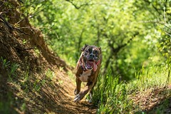 Strawberry in wonderland II. (Tams Szarka) Tags: dog pet nature animal forest puppy outdoor boxerdog