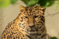 Amoerluipaard Jarolin (wendyderoover) Tags: leopard zooantwerpen luipaard felidae katachtigen amoerluipaard