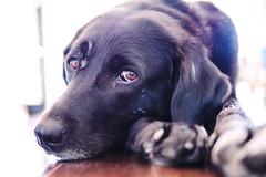 molly ((robcee)) Tags: portrait rescue dog toronto dogs nose eyes toes kodak molly ektachrome scars 2016 camera:make=olympusimagingcorp exif:make=olympusimagingcorp exif:focallength=25mm exif:aperture=14 exif:lens=leicadgsummilux25f14 camera:model=em1 exif:model=em1 exif:isospeed=640