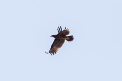 Immature Greater Spotted Eagle at Raysut S24A8184 (grebberg) Tags: bird water march eagle raptor immature ponds oman birdofprey treatment 2016 salalah dhofar greaterspottedeagle aquilaclanga raysut