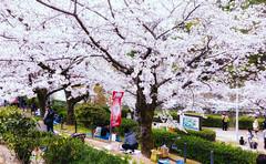 Let's Enjoy Hanami (JapanDave) Tags: flowers people nature japan spring jp  sakura cherryblossoms  enjoyment hanami   someiyoshino  aichiken polaroid690 yoshinocherry prunusyedoensis vsco okazakishi