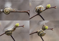 this bud's for you! (marianna armata) Tags: brown cute green spiral leaf spring yummy branch little small snail fresh fragrant bud swilr mariannaarmata