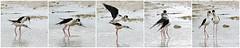 Domaine des oiseaux (Mazères/Ariège) (PierreG_09) Tags: stelzenläufer cigüeñuelacomún pitkäjalka échasseblanche ddo domainedesoiseaux mazères ariège faune oiseau bm eu
