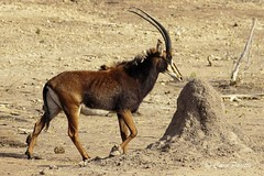 sable antelope3 (hippotragus niger) (Colin Pacitti) Tags: animal outdoor ngc horns antelope wildanimal sableantelope coth hippotragusniger fantasticwildlife coth5 hennysanimals