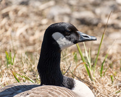 Hawrelak Park, April 2016 (Julian Rossi) Tags: bird wildlife goose canadagoose brantacanadensis