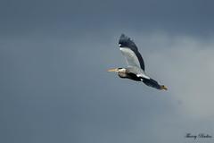 Hron cendr Ardea cinerea - Grey Heron (Thierry Badan) Tags: heron grey ardea hron cinerea cendr oiseuxnaturesauvage