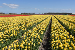 Yellow tulips to the horizon, Noordwijkerhout, May 1, 2016 (cklx) Tags: red holland yellow spring tulips may tulip april brightcolors tulpen noordwijkerhout tulp lisse 2016 bollenstreek hillegom