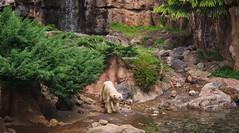 Utopia (EmilyOrca) Tags: bear green water pool animal rock japan river mammal zoo marine exhibit yokohama polar cascade zoorasia