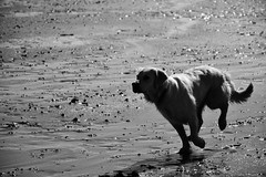 India enjoying the beach (Man with Red Eyes) Tags: dog beach monochrome goldenretriever blackwhite sand nikon conversion running d500 intothesun pilling pillingsands incamerajpeg imdia flukehall nikkorafsdx18105mmf3556edvr
