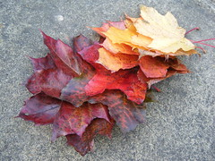 red maple fallen (:: attend ::) Tags: autumn red england orange brown plant colour fall texture nature leaves yellow garden gold golden leaf maple pattern display outdoor maroon foliage collection acer ochre arrangement russet organicpattern