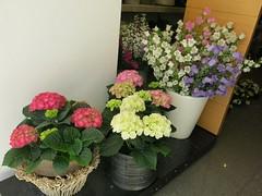 Saturday Colours - The Flowers of Matera (Pushapoze - toujours en retard) Tags: flowers italy fleurs italia basilicata hydrangea fiori matera campanula hortensia