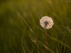 Waiting for Wind (fixedfocallength) Tags: lumix spring dandelion panasonic frhling lwenzahn pusteblume blowball canonfd m43 mft gx7 microfourthirds buttermoor canonfdn100mm128