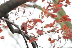 Dance the blues (Fritter and Waste) Tags: red birds cardinal bokeh birding malecardinal mortonarboretum dupagecounty birdsofillinois