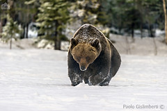 Orso bruno, Ursus arctos, Brown Bear (paolo.gislimberti) Tags: snow finland neve mammals finlandia taiga carnivori mammiferi fotografianaturalistica naturalisticphotography flesheatinganimals animaliambientati animalsintheirenvironments
