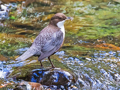 Dip it low............. (coopsphotomad) Tags: nature water flow stream feeding wildlife insects britishwildlife dipper britishbirds