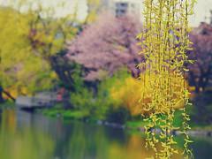 P5020675 (mina_371001) Tags: park flower japan spring sapporo hokkaido view sakura cherrybrossom nakajimapark photographywork olympusomdem10