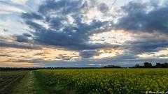 Le ultime luci del giorno (Paolo Gabriele Maiero) Tags: flowers sunset sky plants primavera nature field clouds landscape spring tramonto nuvole colours natura cielo colori hdr paesaggio campi colza orizzontale pianteefiori
