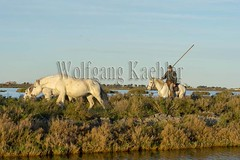 40080662 (wolfgangkaehler) Tags: horses horse france water cowboys french cowboy europe european riding swamp wetlands marsh cowgirl marshland guardian wetland camargue southernfrance guardians marshlands 2016 herding swampland ridinghorse camarguehorses camarguecowboy