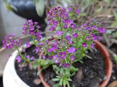 (Victor.G.V) Tags: flowers gardening alyssum