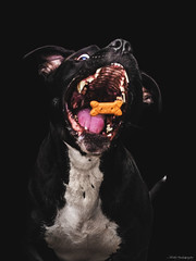 My Dog Stewie Catching A Treat (Facebook.com/MontyPro | ShopMonty.com) Tags: food dog pet pets black nature goofy animal animals speed canon mouth puppy eos funny action eating top michigan lol detroit fast canine best pitbull tricks talent winner haha trick 60mm breed bully quick pure doggie talented trained pitties 7dmarkii 7dm2 7dmark2 7dmii