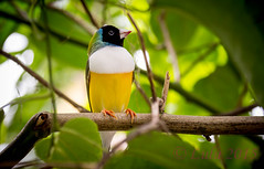 Black Headed Gouldian Finch (lh24smile) Tags: world black butterfly finch headed gouldian