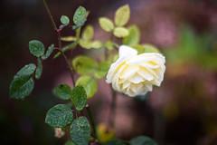 Rose on Dec. 25th 2015 (lumofisk) Tags: green leave water rain rose yellow wasser blossom availablelight drop gelb flowering grn blatt blte regen tropfen blhen 50mmf12 nikondf